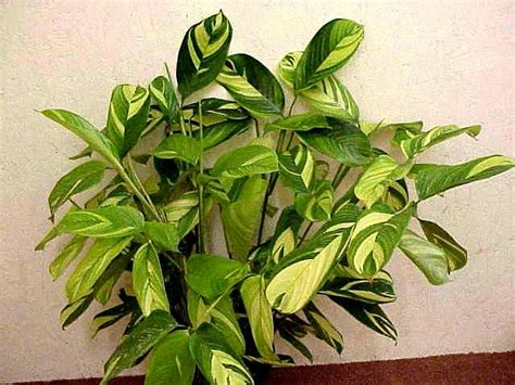 20 most common house plants green acres calathea