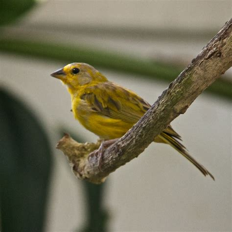 saffron finches for sale in south florida myideasbedroom com