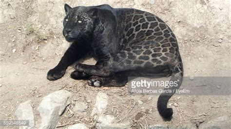 all about jaguars black jaguar stock photos and pictures getty images