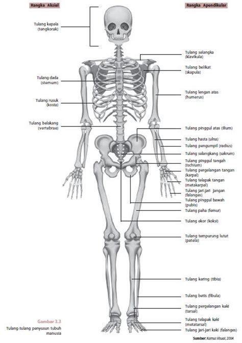 quota era una cosa divertente fungsi sistem tulang rangka manusia