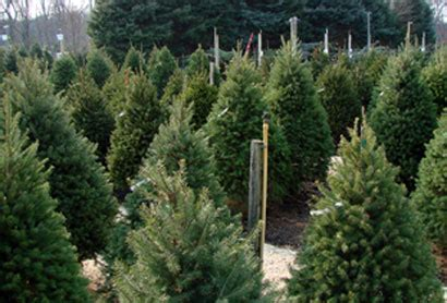 christmas tree nursery stock thenurseries