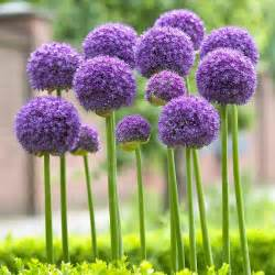 What Is The Alaska State Flower - allium gladiator longfield gardens
