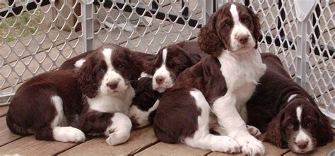 springer puppies piper s springers springer spaniels