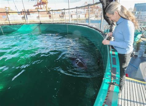 killer whale rescue chester the false killer whale thrives at aquarium s