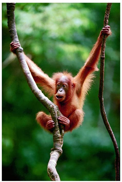 monkey swing encyclopaedia of babies of beautiful wild animals baby