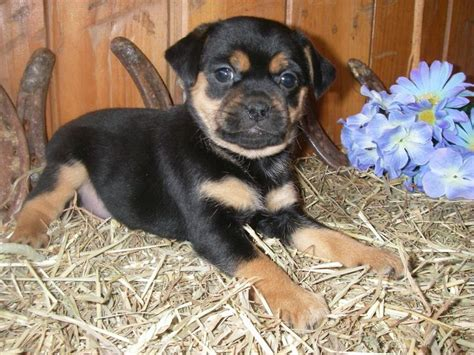 rottweiler puppies in chicago 25 best ideas about rottweiler lab mixes on rottweiler puppies baby