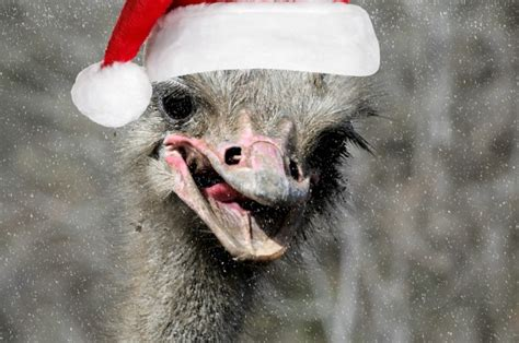 christmas ostrich free stock photo public domain pictures