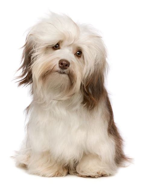 grooming a havanese puppy 25 best ideas about havanese grooming on havanese puppies small puppy