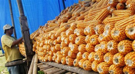 Pakan Ternak Impor Jagung aturan impor jagung dirilis