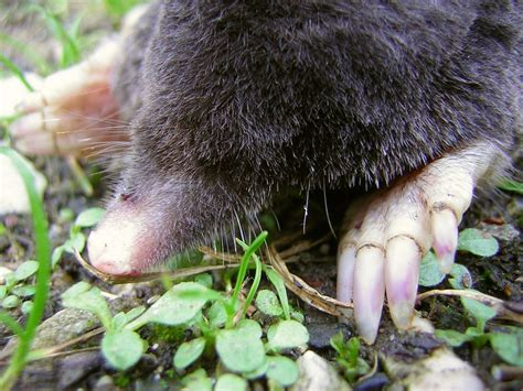 Garden Mole by Farmers Tip 160 Moles And Voles In The