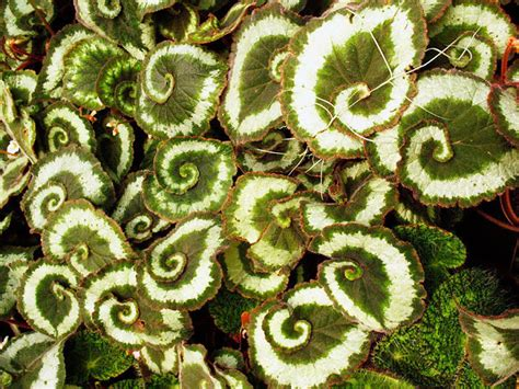 perfect pattern in nature spiral begonia bored panda