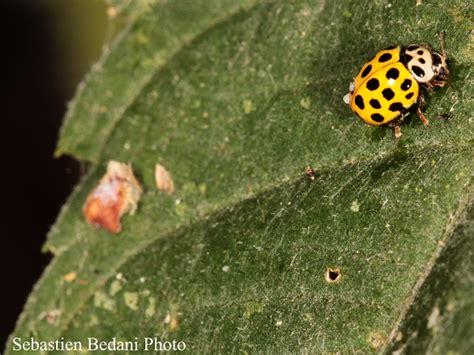 testa martin insetto entomologia agraria coccinella psyllobora vigintiduopunctata