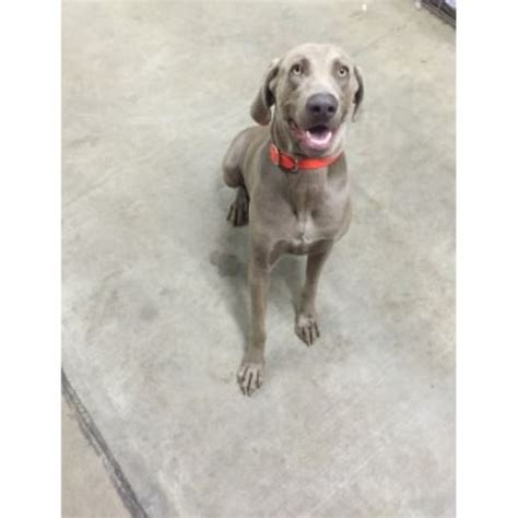 weimaraner puppies for sale in ohio weimaraner puppies and dogs for sale and adoption freedoglistings