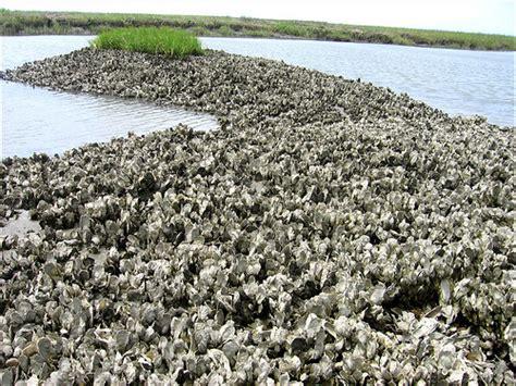 oyster beds oyster bed vista mcclellanville sc oyster bed vista