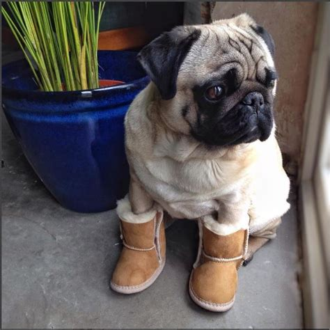 pug boots for dogs uggs for dogs pugs