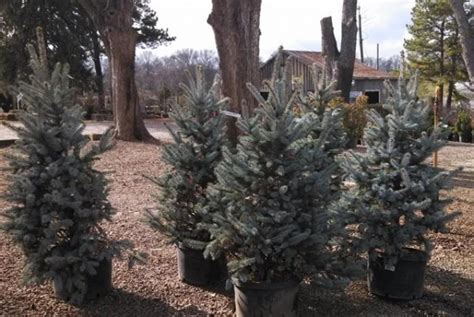 franklin plant nursery sells rooted christmas trees