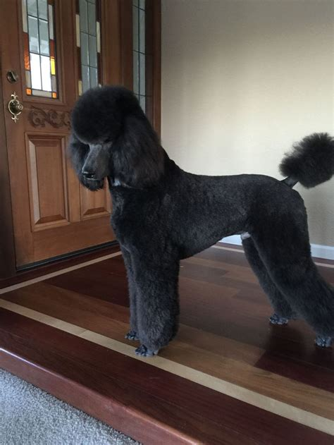 grooming standard poodles cuts 84 best poodle grooming hairstyles images on pinterest