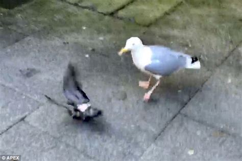 seagull in exeter devours a baby pigeon in front of
