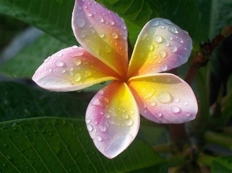 plumeria care best flower s care plumeria