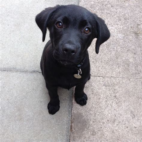13 week puppy black labrador puppy 13 weeks winsford cheshire pets4homes