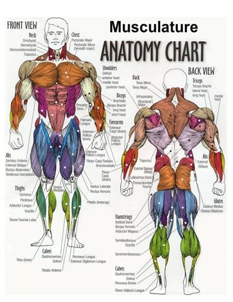 chest diagram muscles chest anatomy diagram human anatomy diagram