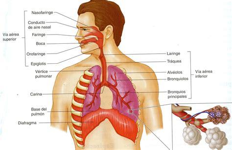 anatomia del sistema respiratorio anatom 205 a del sistema respiratorio eife fundetam