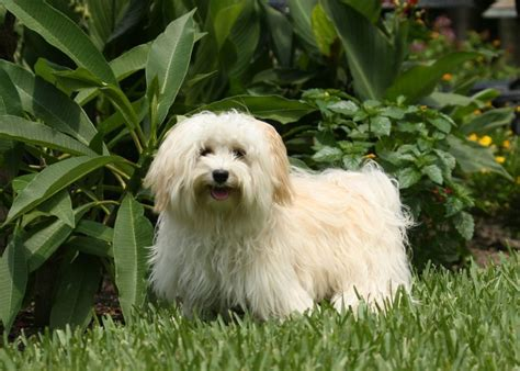havanese names breed focus on the havanese