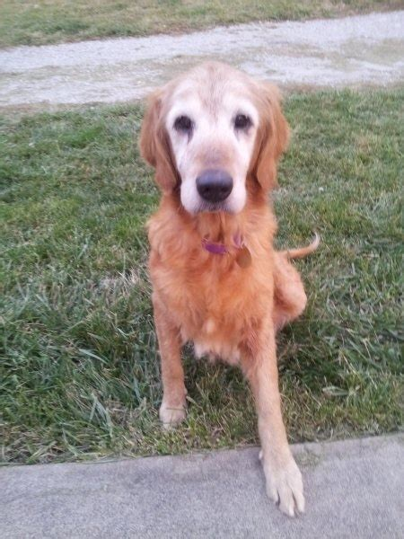 golden retriever rescue kentucky 1000 images about adoptable goldens on adoption other and golden