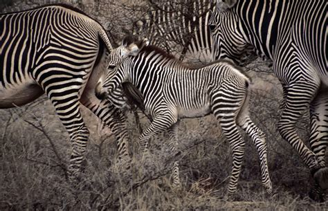 zebra migration pattern great migrations photos the big picture boston com