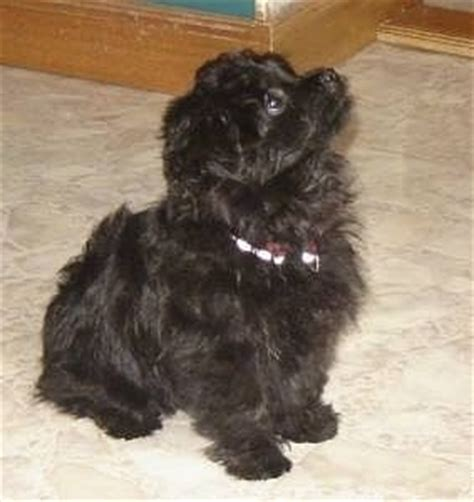 black pomeranian poodle mix the puppy vs the 3