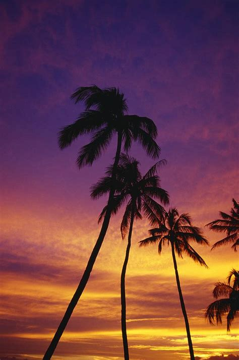 Ocean Curtains Palm Tree Silhouettes Sunset Waikiki Photograph By