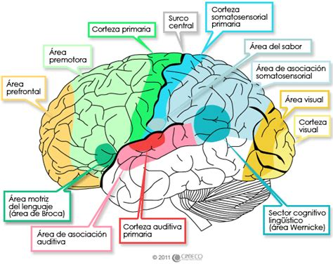 identificar imagenes sensoriales biolog 237 a el cerebro