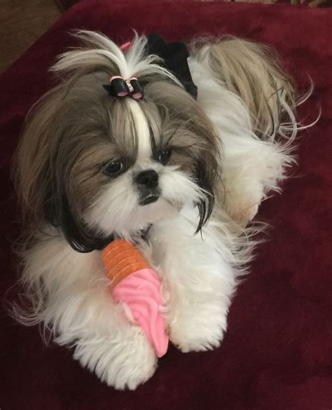 shih tzu maintenance 595 best images about shih tzu pictures on maltese shih tzu shih tzus and