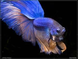 My BETTAS    Rainbowfish.info