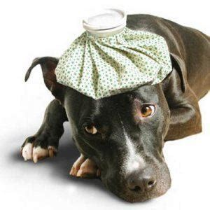 can dogs catch a cold can i give my a cold do pet dogs catch colds from humans