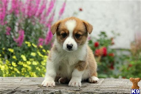 corgi puppies pa document moved