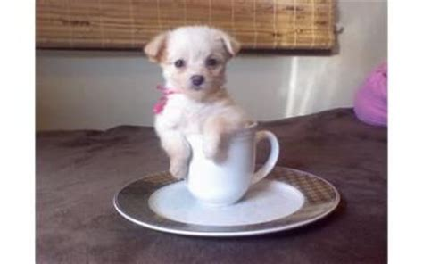 chipoo puppy image gallery teacup chi poo