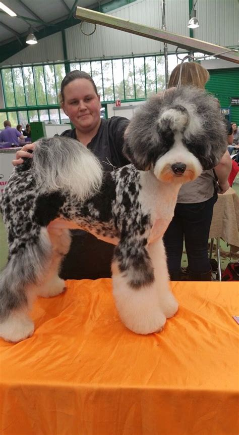 aussiedoodle haircuts 17 best images about grooming on pinterest poodles