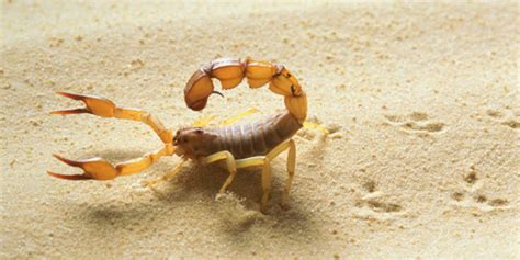 scorpion bite image gallery scorpion bites