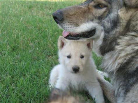german shepherd wolf mix puppies white german shepherd wolf hybrid my
