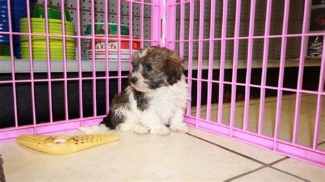 havanese puppies for sale in atlanta ga gold havanese puppies for sale in ga at puppies for sale local breeders