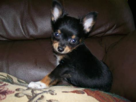 chiwawa puppies doberman puppies for sale in michigan image gallery