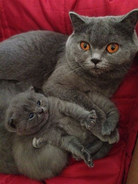 blue kittens for sale blue shorthair kitten for sale luton