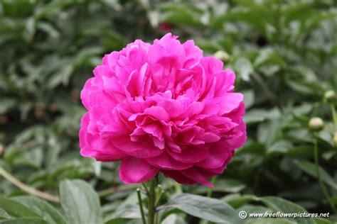 peony flowers peony flower picture flower pictures 994