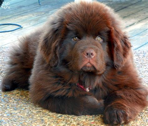 Lookup Newfoundland If I Get Another It Will Be One Of These Brown
