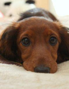 Datsun Puppies by Datsun Puppies Mini Dachshund Wallpaper Dogs Wallpaper