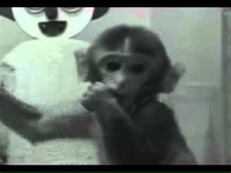 harlow s contact comfort harry harlow monkey experiment contact comfort youtube