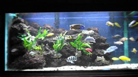 aquarium cichlid 233 africain 3 ans plus tard