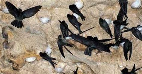 Pakan Burung Walet Terbaik cara membuat makanan alami burung walet agar cepat
