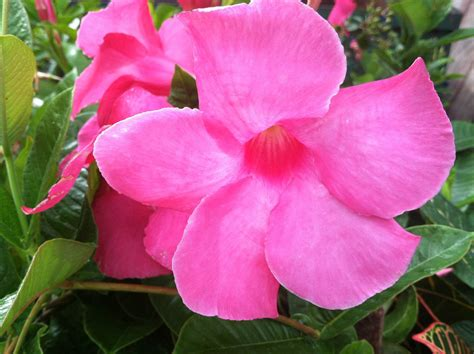 Mandevilla Pink 1 mandevilla vine pink 1 plant 4 quot pots true vining